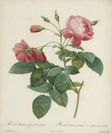 rosa gallica maheka