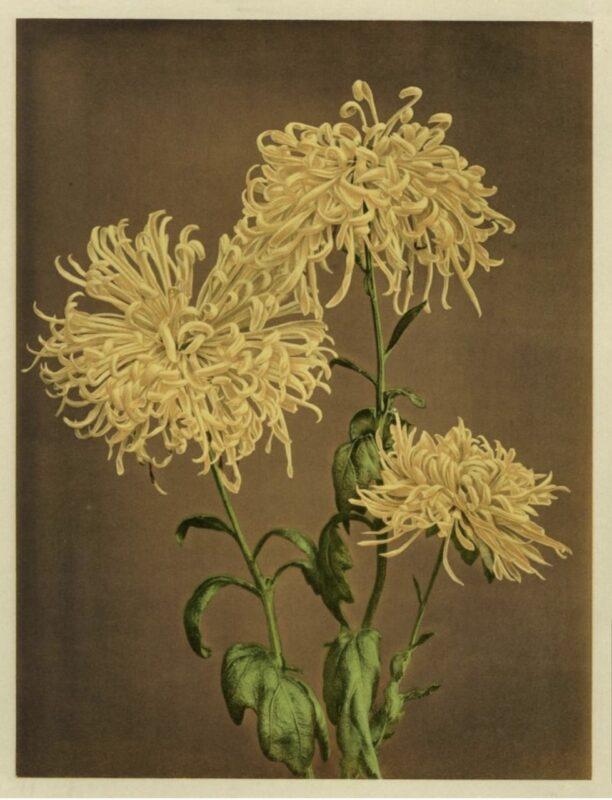 fioritura giappone